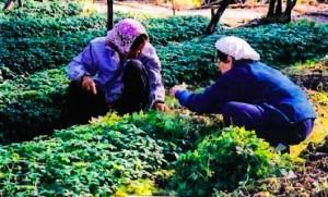 Harvesting Jiaogulan